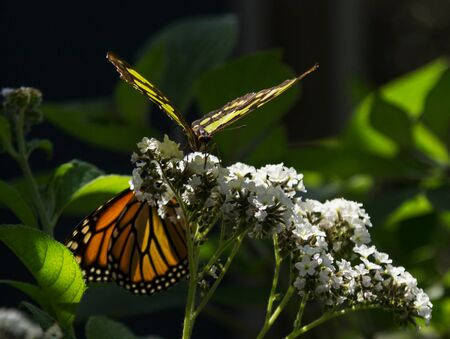 nectaring: Monarch butterfly Danaus plexippus and Malachite butterfly Siproeta stelenes in spring