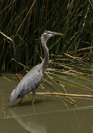 great blue heron: Great blue heron in the wild foraging in a lake in Southern California