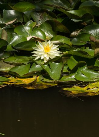 koi pond: White and yellow water lily on top of a koi pond in Southern California