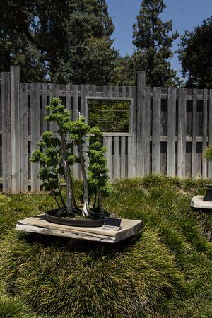 enebro: Japonés bonsai foemina Juniper Foto de archivo