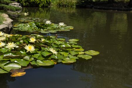koi pond: white and yellow water lilies on top of a koi pond in Southern California Stock Photo
