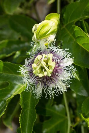 passionflower: Purple and white passionflower fruit Passiflora incarnate booms on the green vine in summer