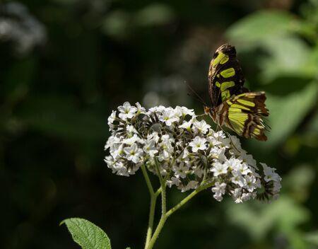 malachite: Malachite butterfly Siproeta stelenes in spring