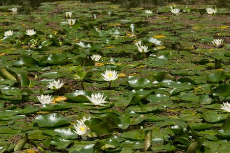 koi pond: White and yellow water lily on top of a koi pond in Japan Stock Photo