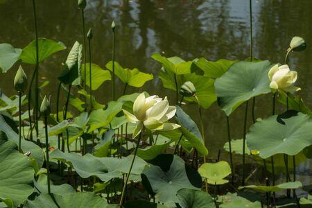 koi pond: White lotus on top of a koi pond in India Stock Photo
