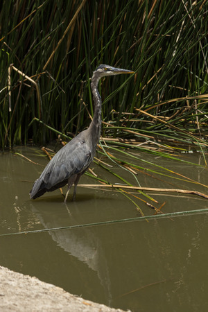 southern california: Great blue heron in the wild foraging in a lake in Southern California
