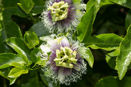 incarnate: Purple and white passionflower fruit Passiflora incarnate booms on the green vine in summer