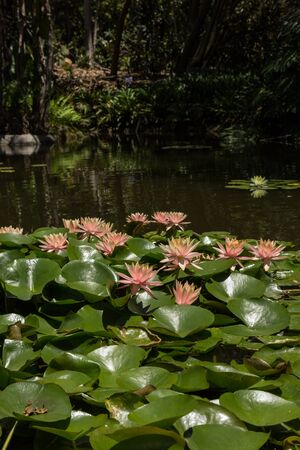 koi pond: pink water lily on top of a koi pond in Southern California Stock Photo