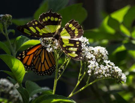 malachite: Monarch butterfly Danaus plexippus and Malachite butterfly Siproeta stelenes on a white flower Stock Photo