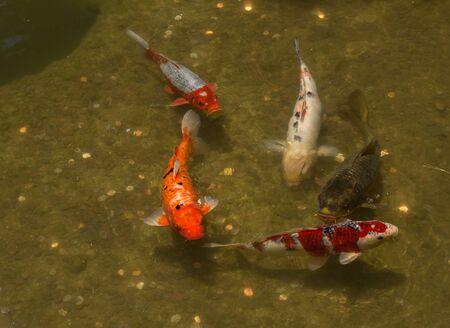 gosanke: Koi fish Cyprinus carpio haematopterus eating in a koi pond in Japan