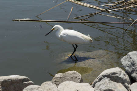 shorebird: Snowy Egret Egretta thula forages in a tidal pool in Laguna Beach Southern California