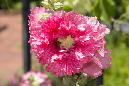 frilly: Frilly pink flower paeonia blooms in spring on a trellis