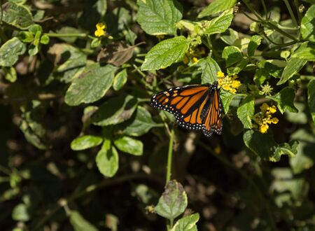 nectaring: Monarch butterfly Danaus plexippus on yellow flowers