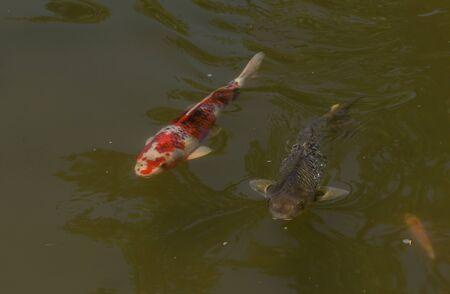 sanshoku: Koi fish Cyprinus carpio haematopterus eating in a koi pond in Long Beach