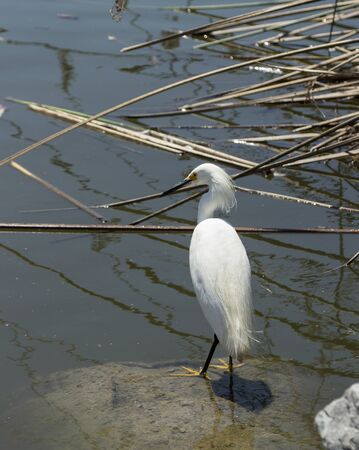 laguna: Snowy Egret Egretta thula forages in a tidal pool in Laguna Beach Southern California