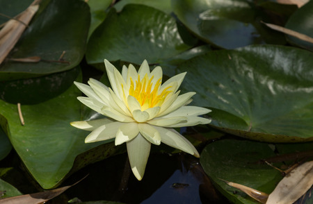 nymphaea: White water lily on top of a koi pond in Southern California