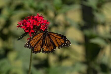 nectaring: Monarch butterfly Danaus plexippus on red flowers in Laguna Beach Southern California