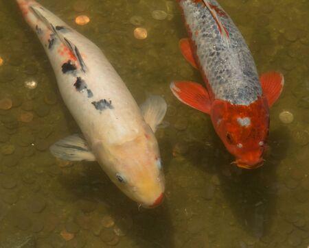 kohaku: Koi fish Cyprinus carpio haematopterus eating in a koi pond in Long Beach