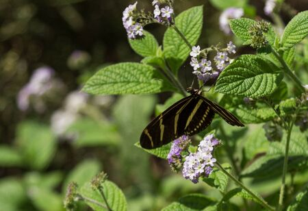longwing: Zebra longwing Heliconius charitonius butterfly is also called the zebra heliconian. It is found in South and Central America Stock Photo