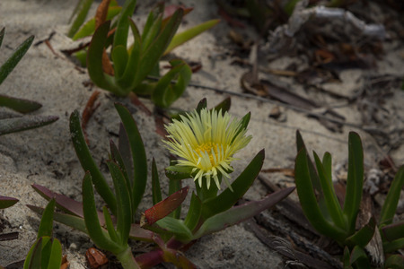 iceplant: Ice plant succulent, Carpobrotus edulis, creeping ground cover on beach sand in the spring in Southern California