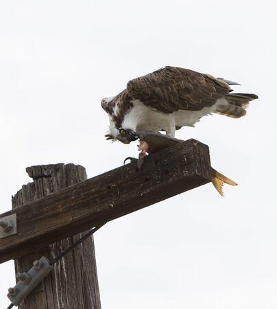 osprey bird: Male osprey bird, Pandion haliaetus, eating a fish on a telephone pole in spring Stock Photo