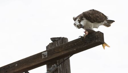 bird eating raptors: Male osprey bird, Pandion haliaetus, eating a fish on a telephone pole in spring Stock Photo