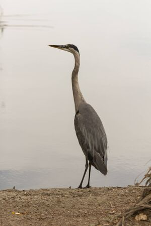 great blue heron: Great blue heron in the wild, foraging in a lake in Southern California Stock Photo