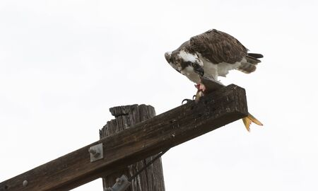 Male osprey bird, Pandion haliaetus, eating a fish on a telephone pole in spring 版權商用圖片