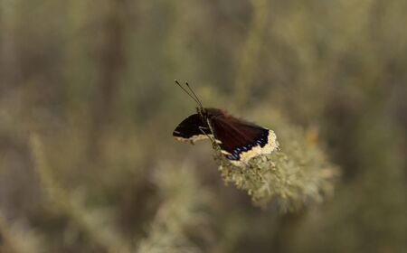 nymphalis: Mourning cloak butterfly, Nymphalis antiopa, in spring