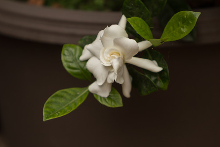 gardenia: Gardenia flower, Gardenia jasminoides, blooms in spring Stock Photo