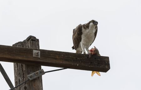 bird eating raptors: Male osprey bird, Pandion haliaetus, eating a fish on a telephone pole in spring Stock Photo