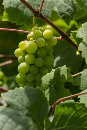 napa valley: Green grape, Vitis, arbor vine in Napa Valley California Stock Photo