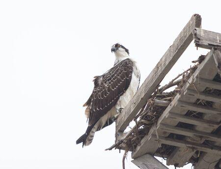 bird eating raptors: Male osprey bird, Pandion haliaetus, perched on its nest in spring Stock Photo