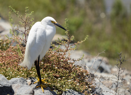 southern california: Snowy Egret, Egretta thula, forages in a tidal pool in Huntington Beach, Southern California Stock Photo