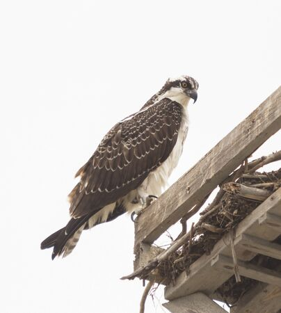 osprey bird: Male osprey bird, Pandion haliaetus, perched on its nest in spring Stock Photo