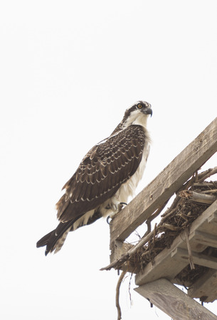 talons: Male osprey bird, Pandion haliaetus, perched on its nest in spring Stock Photo