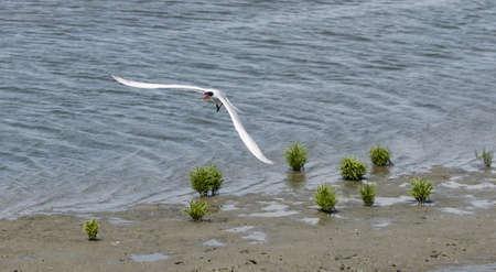 skimmer: Black skimmer tern, Rynchops niger, shorebird in flight in a marsh in Southern California