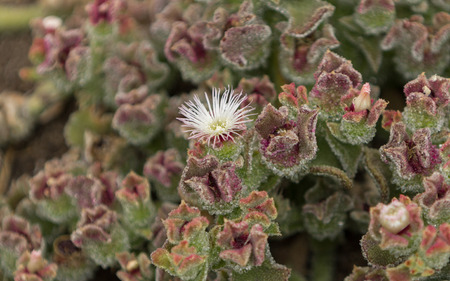 ice plant: Mesembryanthemum crystallinum, crystalline ice plant, ground cover in southern California Stock Photo