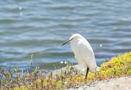 huntington beach: Snowy Egret, Egretta thula, forages in a tidal pool in Huntington Beach, Southern California Stock Photo