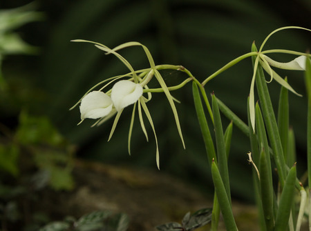 epiphytic: White lady of the night orchid, Brassavola nodosa, blooms in a greenhouse is spring Stock Photo
