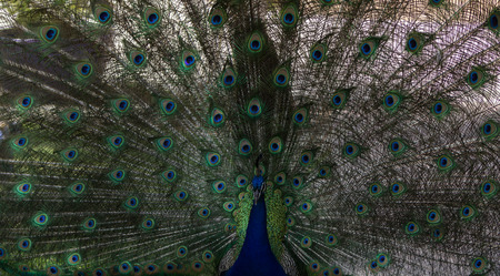 pavo cristatus: Male peacock, Pavo cristatus, living wild in Southern California