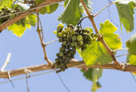 napa: Green grapes, Vitis, arbor vine in Napa Valley California