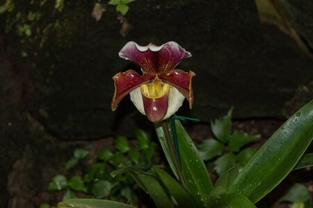 lady slipper: Lady Slipper Orchid Paphiopedilum blooms in a greenhouse in spring Stock Photo