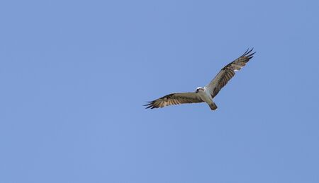 osprey bird: Male osprey bird, Pandion haliaetus, perched on its nest in spring Stock Photo