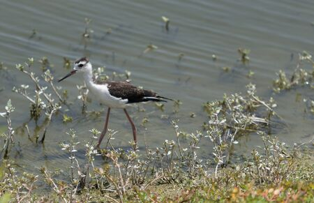 himantopus: Black-necked stilt, Himantopus mexicanus, shore bird Stock Photo