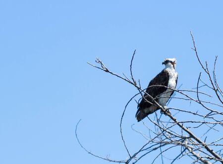 osprey bird: Osprey bird, Pandion haliaetus, on a perch against a blue sky in spring Stock Photo