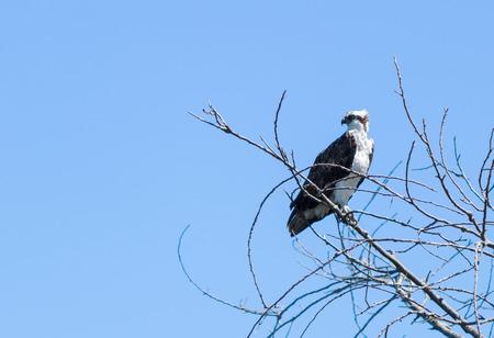 osprey bird: Osprey bird, Pandion haliaetus, on a perch against a blue sky in spring Editorial