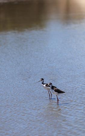 Black-necked stilt, Himantopus mexicanus, shore bird Sajtókép