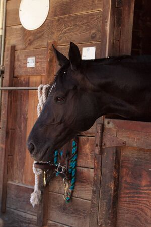 gelding: Louisville, Kentucky, United States,  July 2015: Brown bay horse view out the stable in a barn