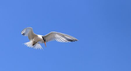 Elegant tern, Thalasseus elegans, flying across a blue sky in search of fish in Huntington Beach, Southern California Editorial